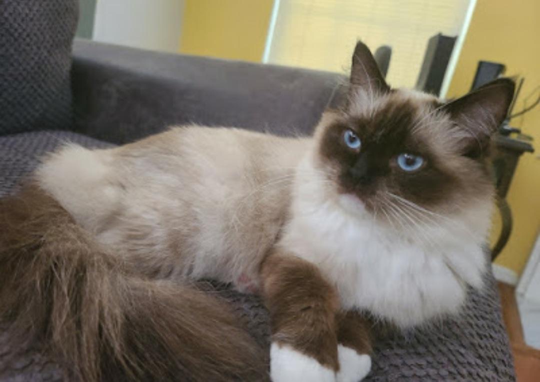 <b><h2>Curious Explorer</h2></b><br><b>Due Date : </b>May 2021<br><b>Ready Date : </b>August 2021<br><b>Kitten Pet Price : </b>$2000 - $2500