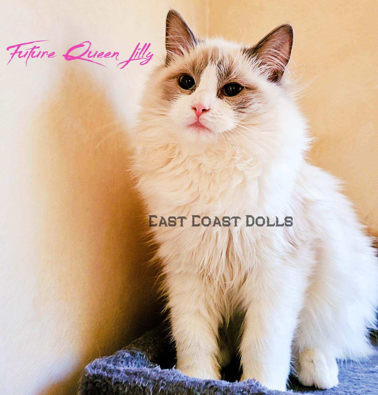 <b><h2>Lily</h2></b><br><b>Due Date : </b>June 2021<br><b>Ready Date : </b>September 2021<br><b>Kitten Pet Price : </b>$2500 - $3500