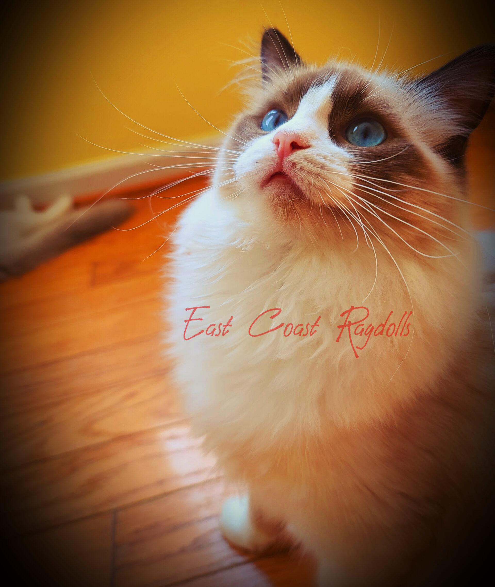Best Ragdoll Kitten Of The Year
