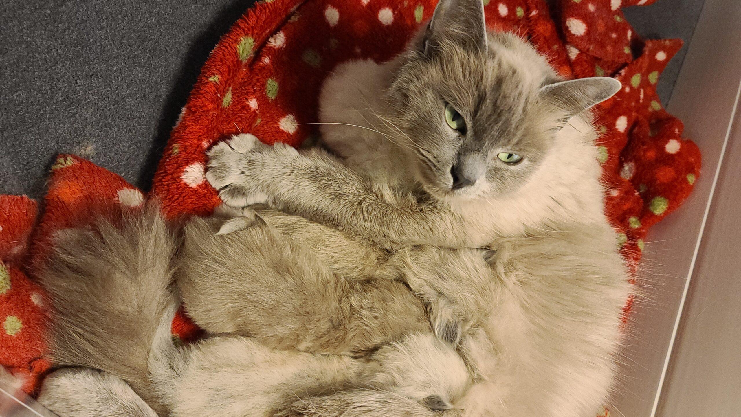 <b><h2>Izmir</h2></b><br><b>Due Date : </b>June 2021<br><b>Ready Date : </b>September 2021<br><b>Kitten Pet Price : </b>$1500 - $2500