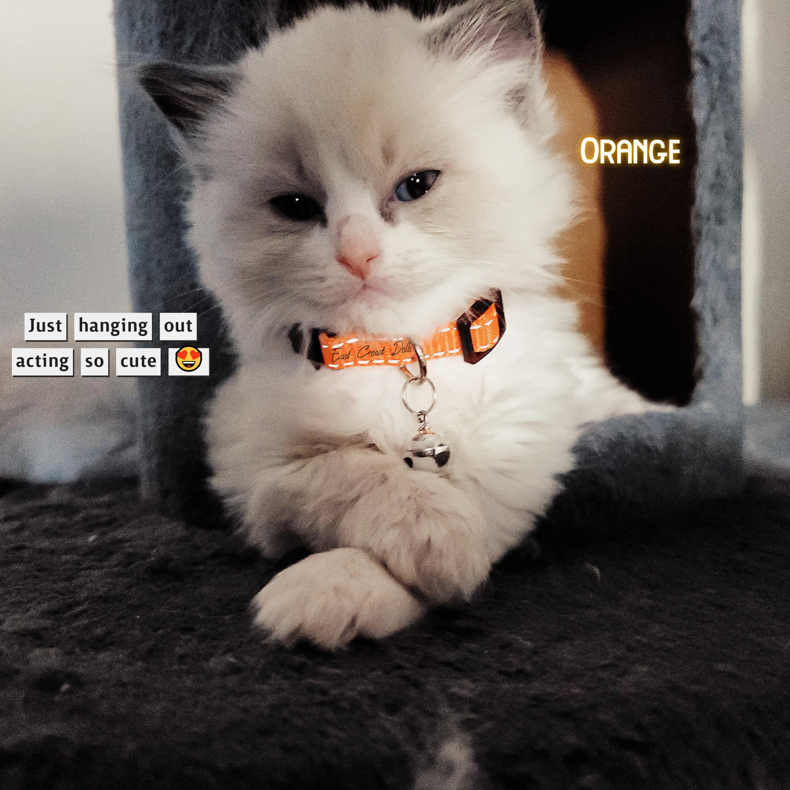 Orange Collar - Blue Bicolor Ragdoll Kitten