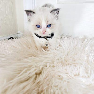 Black Collar - Blue Bicolor Ragdoll Kitten
