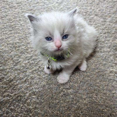 Ragdoll Kitten virginia